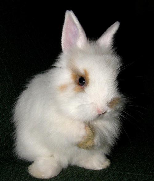 fluffy baby bunny - photo #30